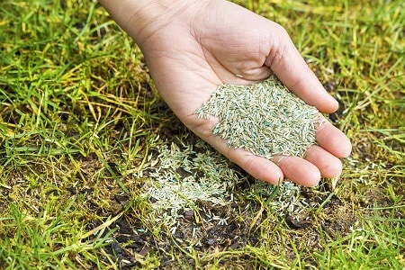 Overseeding the lawn with new grass seeds by hand