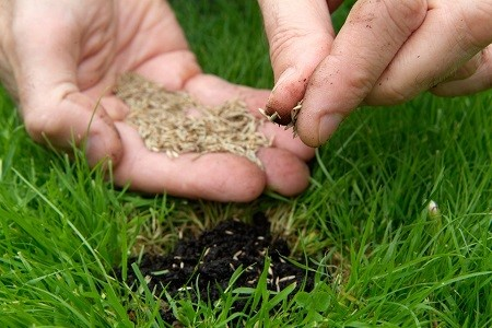 Man sowing the seeds into lawn using his hand