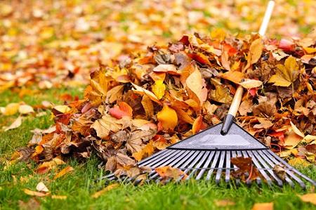 Raking all the fallen leaves in lawn